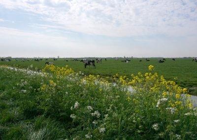 Koeien in het weiland rondom Jisp