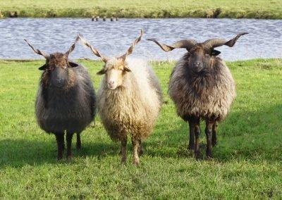 De Racka schapen in het weiland verwelkomen je