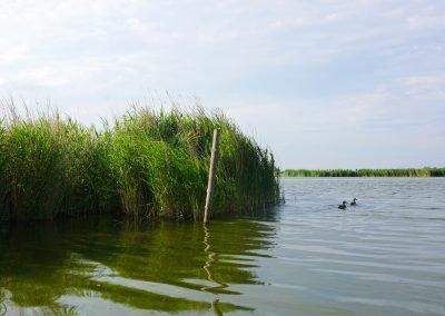 Eendjes en riet in het vaarwater van natuurgebied Wormer- en Jisperveld