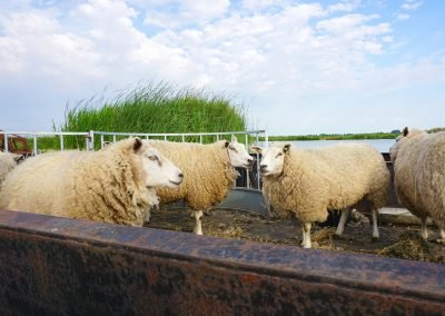 Vaarboer in Jisp met zijn schapen