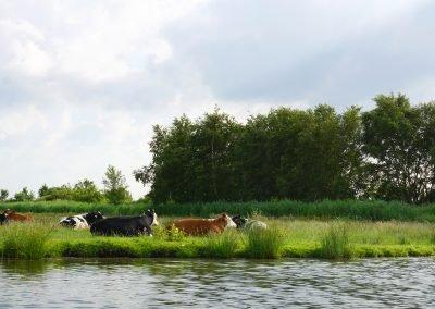 Koeien in natuurgebied Jisperveld vlakbij huisje Welcome